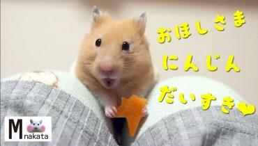 ごきげんハムスターの帰宅方法が陽気すぎる!おもしろ可愛い癒しハムスターHow to get home from Funny hamsters is too cheerful!