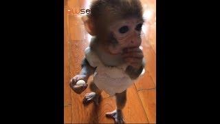Pocket monkey Huahua also has a big mouth Funny animal video